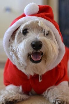 how awesome! a christmas Westie :) Westies, Westie Puppies, Beagle, Cute Puppies, Dogs And Puppies, Doggies, White Terrier, Bull Terrier, Terriers