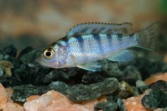 Fish in my aquarium, shot with the Sigma 105 macro lens with its hood attached and pressed to the glass surface. Freshwater Aquarium Fish, Fresh Water, Om, Stripes, Pets, Blue, Animals, Animales, Animaux