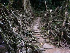 ∆ Tree Root Bridge, Cherrapunji