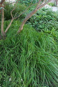 Good Alternative To Stipa Tenuissima 12 x  Carex 'Frosted Curls' Plug Plants