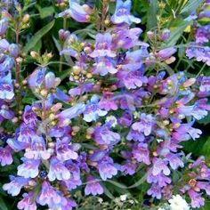 Penstemon 'Heavenly Blue'