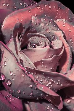 rose drops by aws tfd on Beautiful Flowers Wallpapers, Beautiful Rose Flowers, Beautiful Nature Wallpaper, Pretty Wallpapers, Exotic Flowers, Pink Flowers, Lavender Roses, Purple Roses, Rose Flower Wallpaper
