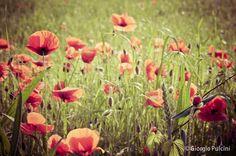 "Poppies field - Italian country - Flower-  - 8""x12"" wall decor print. $29.00, via Etsy."