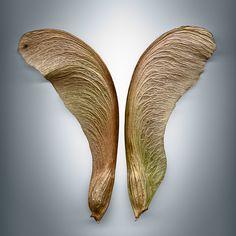 Svjetlana Tepavcevic graines d'érable scannées : ailes d'ange ou pale d'hélicoptère ?