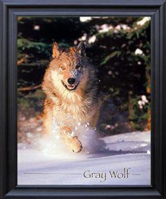 Wild Gray Wolf Running in Snow Animal Black Framed Pictur... https://www.amazon.com/dp/B00ZUKUTTC/ref=cm_sw_r_pi_dp_x_3W8WybTVJKTNS