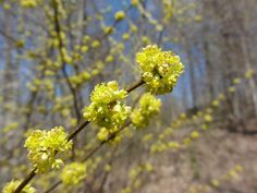 Commixta) Small Yellow Flowers, Bright Yellow, Spring Flowers, Wild Flowers, Bee Nursery, Wildlife Biologist, Landscape Plans, Different Plants, Small Trees