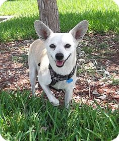 Key Biscayne, FL - Terrier (Unknown Type, Small)/Chihuahua Mix. Meet Madam Sasha, a dog for adoption. http://www.adoptapet.com/pet/8132313-key-biscayne-florida-terrier-unknown-type-small-mix