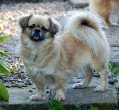 El Spaniel del Tibet es una raza de perro asertiva, pequeña e inteligente originaria de los montes Himalaya en el Tibet. Comparten ancestros con el Pequinés, el Spaniel japonés, Shih Tzu, Lhasa Apso y Pug.