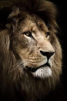 Lion beautiful cats, animals beautiful, most beautiful pictures, animals and pets, cute Lion And Lioness, Lion Of Judah, Beautiful Cats, Animals Beautiful, Cute Animals, Beautiful Pictures, Lion Wallpaper, Animal Wallpaper, Lion Photography