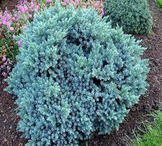 Wichita Blue Juniper Juniperus Scopulorum Wichita Blue