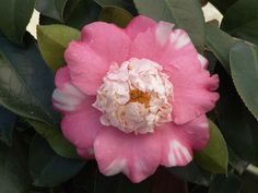 Chandleri Elegans Variegated Camellia - Monrovia - Moderate growing to 6 to 8 ft. tall and wide, larger with age. Zone: 8 - 10