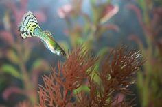Lebiste ou guppy, pequeno, pacífico e resistente, está na lista de peixes mais procurados para aquário | Portal Animal - o canal de pets do Estadão