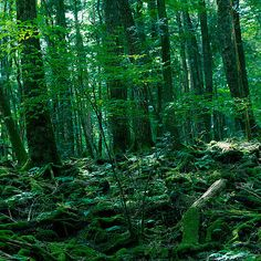 Aokigahara has been a popular destination for suicides for a very long time, and in 2010, 247 dead bodies were found there. The forest is also known to be haunted by evil spirits known as the Yūrei, which are angry spirits of those who were left there to die.