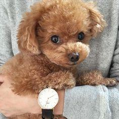 "#toypoodle#toypoodlelove#instadog#instapoodle#dogstagram#dog#danielwellington#ダニエルウェリントン#トイプードル#ふわもこ部#時計#抱っこ https:www.danielwellington.com/jp 公式サイトにて15%オフになるクーポンコードがあります。気になる方は是非!! クーポンコードは""huwayama "" 2016年5月31日まで"