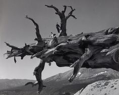 ansel adams photos | Ansel Adams, Fallen Tree, Kern River Canyon, Sequoia National Park ...