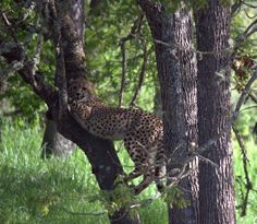 A seven month old cheetah male climbing a tree