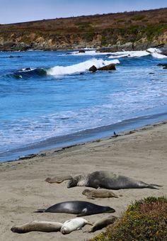 Elephant Seals in Cambria, Ca.