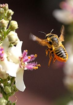 photo via Annie's Annuals. #bee #macro #insect #summer #flower #beekeeping #honey