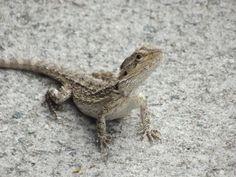 Lizard, Northern Territory, Australia