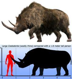 Coelodonta (Woolly Rhinoceros)  http://en.wikipedia.org/wiki/Woolly_rhinoceros