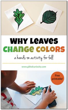 This hands-on activity (with free printable!) shows kids how and why leaves change color in the fall. (Hint: the yellow color is in the leaf all along, but only gets revealed when the green chlorophyll breaks down in the fall) Autumn Activities For Kids, Color Activities, Hands On Activities, Science For Kids, Preschool Activities, Science Lessons, Preschool Lessons, Science Experiments, Science For Preschoolers
