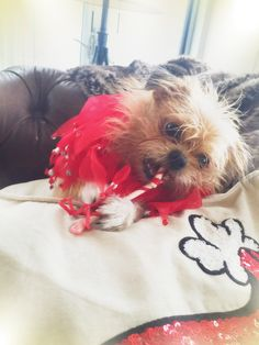 2chainz vs. candy cane rawhide #brusselsgriffon everyday he's brusseling #brussels xo