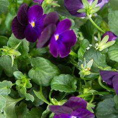 Viola Purple Flower   Plant Capsule for Smart Garden   Plantui Purple Tips, Smart Garden, Purple Flowers, Planting Flowers, Bloom, Backyard, Plants, Patio, Backyards