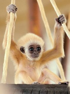 A baby gibbon sits on a swing in its enclosure in Vienna's Schoenbrunn zoo.