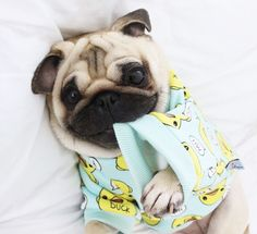 Social Pug Profile | Loulou http://www.thepugdiary.com/social-pug-profile-loulou/