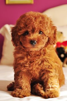 Never thought I'd love a poodle, until a little red one stole my heart!
