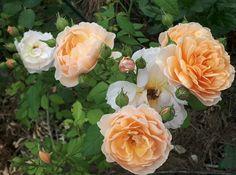 """GRACE"" Austin. Teen Bedroom, Bedroom Decor, Flowers, Plants, Rose Trees, Floral, Decorating Bedrooms, Plant, Teenage Bedrooms"