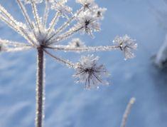 Kuurainen Talventörröttäjä Frosty flower