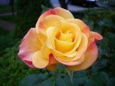 Coral and orange rose