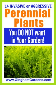 Perennial Plants you do not want to add to your gardens even if they are free includes 14 of the most invasive perennials and aggressive perennials to avoid. #weedyplants #invasiveshadeperennials #invasivegardenperennials #ginghamgardens