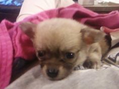Pom-chi puppy