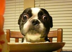 O____O meet Bruschi, the boston terrier with the world's largest eyes: http://huff.to/LIWv9T