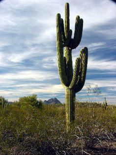 Ironwood Forest Tall Cactus, Cactus Flower, Cactus Facts, Opuntia Microdasys, Easter Cactus, Cactus Types, Barrel Cactus, Z Photo, Cactus