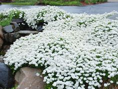 "Few ground covers rival the flower power of spring blooming Iberis.  Tahoe, a more compact selection produces 10"" mounds of evergreen foliage that becomes smothered with masses of large white clusters of flowers in spring."