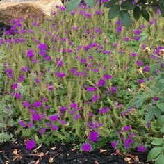 Fast-growing ground cover with purple flowers