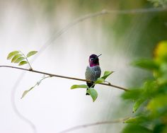 This adorable tiny guy is an Anna's Hummingbird. They are such beautiful little birds, and I love this description of them from the Cornell Lab of Ornithology: No larger than a ping-pong ball and no heavier than a nickel, with their iridescent emerald feathers and sparkling rose-pink throats, they are more like flying jewelry than birds. This image is now available as a wall art print in my Etsy shop.