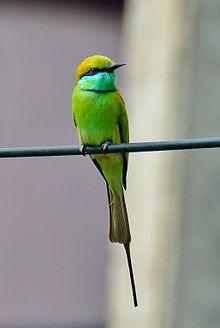 Green Bee-eater ~ Wikipedia, the free encyclopedia http://en.wikipedia.org/wiki/Green_Bee-eater
