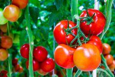 Best Summer Vegetable Garden Tips Pruning Tomato Plants, Tomato Fertilizer, Tomato Seedlings, Fertilizer For Plants, Potted Plants, Vegetable Garden Tips, Veg Garden, Garden Web, Balcony Garden