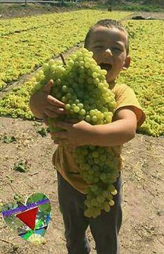 PsBattle: Boy holding hug full of grapes Fruit And Veg, Fruits And Vegetables, Fresh Fruit, Fruit Garden, Vegetable Garden, Beautiful Fruits, Exotic Fruit, Delicious Fruit, Plantation