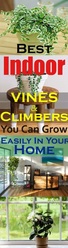 Love growing plants indoors? Some of the best indoor vines and climbers that are easy to grow listed here. Must check out!