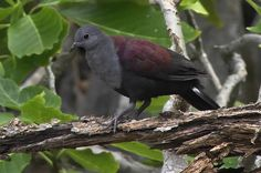 2608. Marquesan Ground Dove (Alopecoenas rubescens) | endemic to French Polynesia in subtropical or tropical dry forests and subtropical or tropical moist shrubland