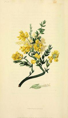 n57_w1150 | Flora conspicua London :Longman, Rees, Orme, Bro… | Flickr