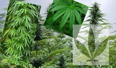 Cannabis  es un género de plantas que pertenece al orden de los Rosales, anteriormente se agrupaba en el orden de Urticales que comprendí... Plant Leaves, Plants, Succulents, Rose Trees, Palm Trees, Growing Up, Landscaping, Flowers