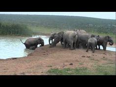 Baby Elephant Fallen Into Water Hole - YouTube