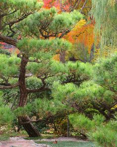 ✮ Pine and Autumn Colors in a Japanese Garden