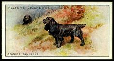 Cigarette Card - Cocker Spaniels